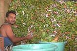 VIDEO: भोपाल में बदस्तूर जारी है केमिकल से फलों को पकाने का सिलसिला