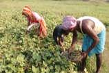 VIDEO: मूंग की खेती ने बदला किसानों का जीवन