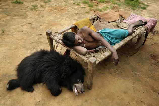 भालू के साथ खेलती ये लड़की है जूली। अपने दोस्त भालू का नाम उसने रखा है बुद्दू। डेढ़ साल का बुद्दू भुवनेश्वर से 350 किलोमीटर दूर लखापाड़ा के गांव में जूली के परिवार के साथ रह रहा था। वन विभाग के अफसरों ने शुक्रवार को इस भालू को परिवार से 'मुक्त' कराया। महत्वपूर्ण बात ये है कि ये भालू इस घर में परिवार के सदस्य की तरह रह रहा था। उसने गांव में रहने वाली बकरियों तक को कभी नुकसान नहीं पहुंचाया। जूली और उसका परिवार इस भालू का भरपूर ख्याल रखते थे। उसके खाने-पीने, आराम से लेकर साफ-सफाई तक के काम में पूरा परिवार लगा रहता था।