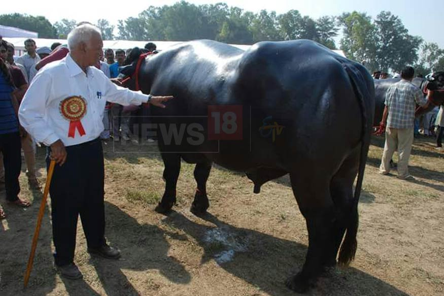 sultan-buffalo4