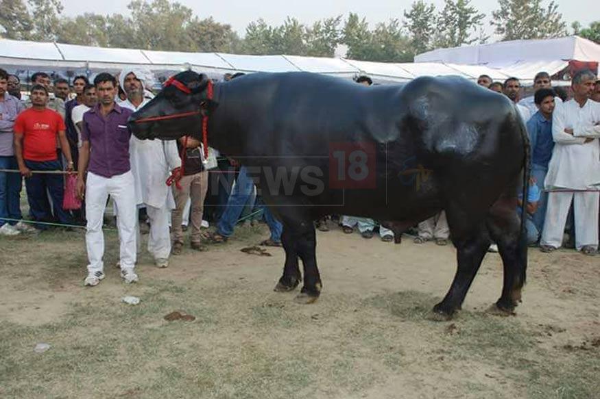 sultan-buffalo5