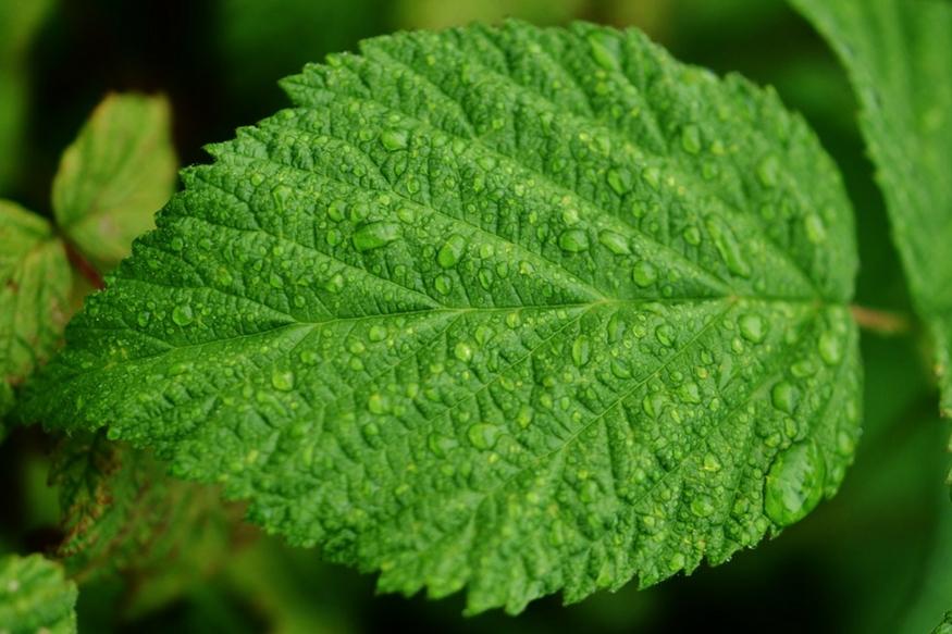 पुदीने की पत्तियों में सैलीसिलिक एसिड पाया जाता है