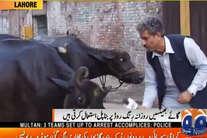 भैंसों से सवाल पूछता है ये पाकिस्तानी पत्रकार, अजब-गजब रिपोर्टिंग से हुआ दुनिया में मशहूर!