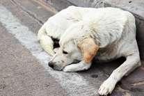 भारत में आवारा घूम रहे तीन करोड़ कुत्ते, यूरोप में है हर कुत्ते का मालिक