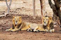 योगी राज: बूचड़खाना बंदी से यूपी में भूखे हैं गुजरात के बब्बर शेर