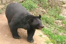 हिमाचल में भालुओं का बढ़ा आतंक, 13 साल में 404 लोगों पर किया हमला