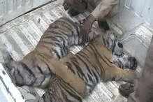 पीलीभीत टाइगर रिजर्व में बाघ ने दो शावकों को इस वजह से मार डाला