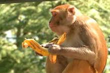 बढ़ा बंदरों की नसबंदी का लक्ष्य,अब सालाना 22 हजार बंदरों की होगी नसबंदी