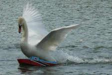 हंसों ने हमला कर पलट दी नावें, अब पानी में जाने से डरते हैं मछुआरे!