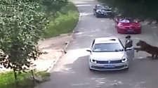 कुछ पलों के लिए कार से उतरी थी महिला, शेर दबोचकर ले गया!