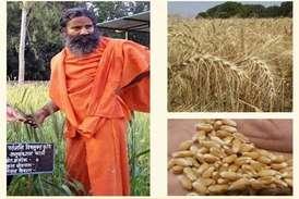 अब खेती में बाबा रामदेव का 'पतंजलि चमत्कार', ऑर्गेनिक गेहूं से किसान होंगे मालामाल!