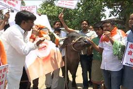 #3सालमोदीसरकार : यहां कांग्रेस नेताओं ने बजाई भैंस के आगे बीन
