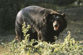 63 साल के कराटे चैंपियन ने जंगली भालू को दी कड़ी शिकस्त!