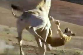 ..और शेरनी पर भारी पड़ गया जिराफ, ऐसे दी मौत को मात!