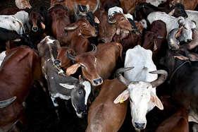 लावारिस गायों की देखभाल करने वाली ऑस्ट्रेलियाई महिला की एक्सिडेंट में मौत