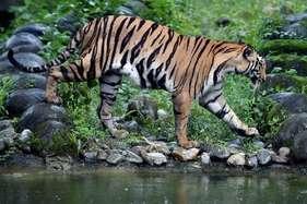 'शेरखान' के लिए नया साल भी हैप्पी नहीं, शहडोल में करंट से बाघिन का शिकार