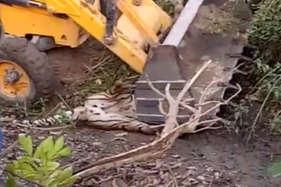 क्रूरता की सारी हदें पार, बाघ की जेसीबी मशीन से कुचलकर हत्या