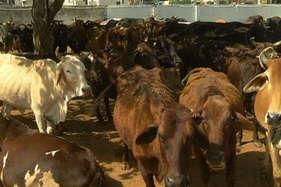 अवैध बूचड़खानों के शहर में कटने से बचाई जा रहीं सैकड़ों गाय