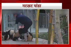 वीडियो: इंसान को परेशान करते ये नटखट पांडा
