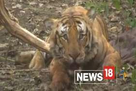 इस आदमखोर बाघ का शिकार बने दो मजदूर, पकड़ने में छूटे वन विभाग के पसीने