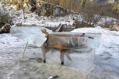 यहां ठंड कुछ इस कदर पड़ी कि बर्फ में जम गई लोमड़ी!