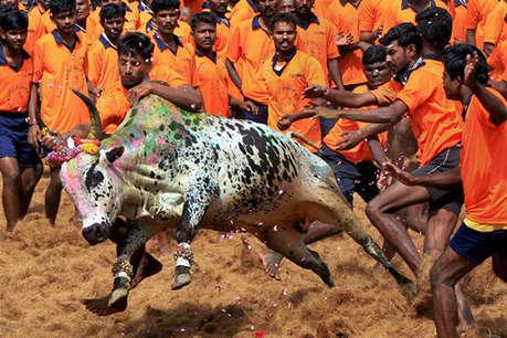 संस्कृति और त्योहार के नाम पर पशु हिंसा क्यों जरूरी?