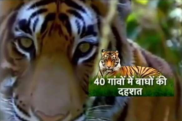 यहां बाघ के निशाने पर हैं इंसान, देखें 'पीलीभीत का आदमखोर'