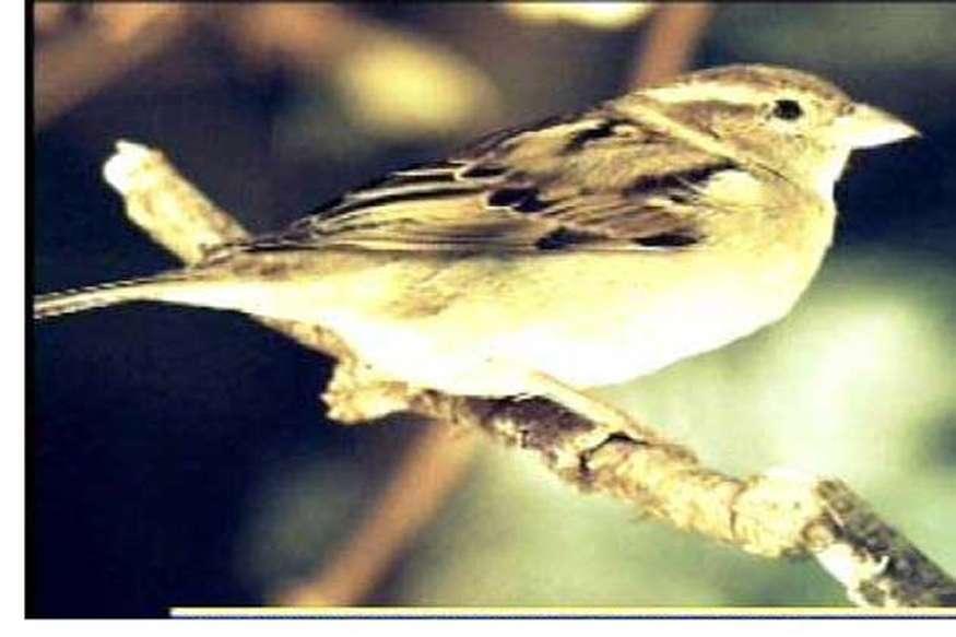 ओ री गौरैया......बनी दिल्ली की राज पक्षी