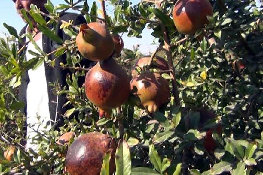 राजस्थानः किसानों के लिए वरदान साबित हो रहा है थार का अनार