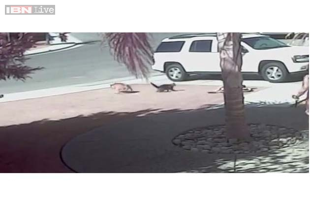 Cat Chases Dog Away From Child