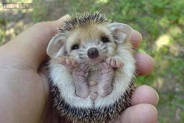 Baby Hippos Hedgehogs Rats Octopuses Foxes 20 Unbelievably Cute And Unusual Animals That Will Make You Go Squeee