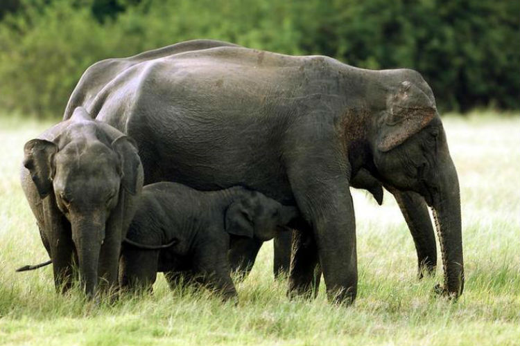 Twelve Elephants To Be Relocated To Corbett from Karnataka