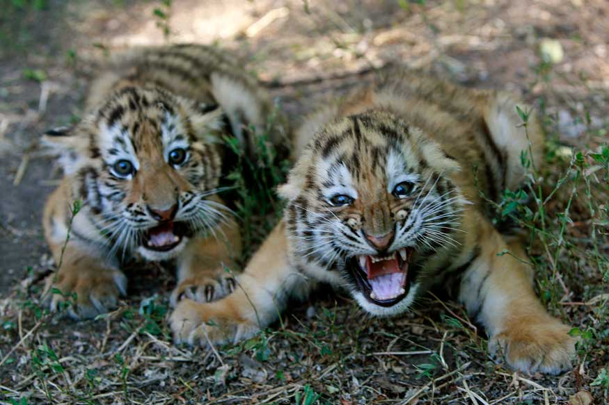 Death of Third Tiger Cub at MP's Bandhavgarh Culminates Rescue Mission