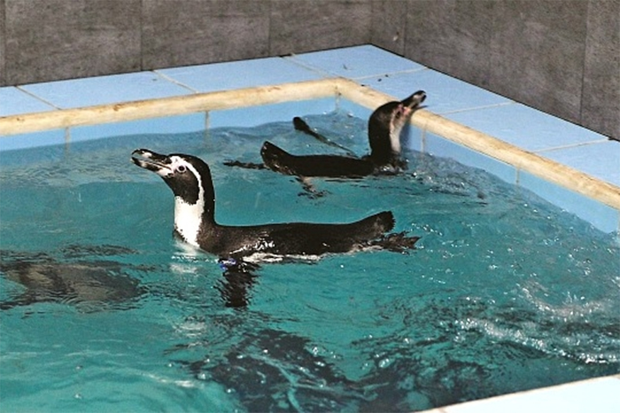 Byculla Zoo in Mumbai Gets Humboldt Penguins as New Members