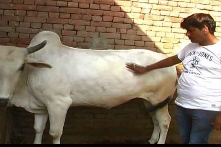 rakesh cow