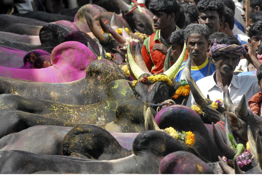 Jallikattu Live: Bill Cruises Through House, Bull-taming Sport now Legal in Tamil Nadu
