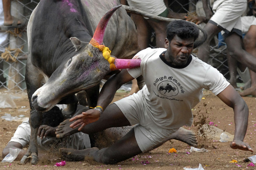 Is Jallikattu a Cultural Right? SC Refers Matter to Constitution Bench