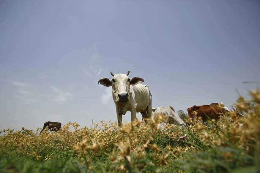 10 Points Decoding Centre's India-wide Ban On Cattle Slaughter