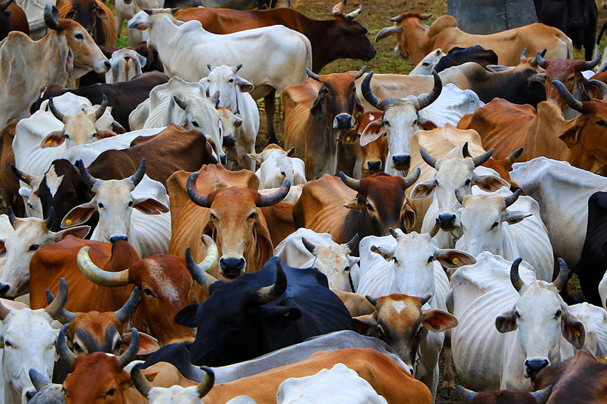 Cows to Help Fight HIV? Antibodies May Hold the Clue to a Vaccine