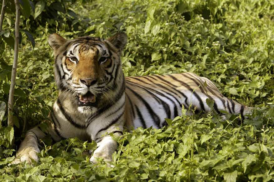 MP's Tiger Conservation Losing Teeth as Big Cats Continue to Drop Dead