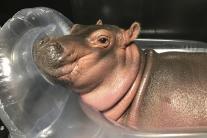 Fiona, a prematurely born hippopotamus at Cincinnati Zoo