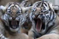 Pics Of Malayan Tigers Are The Cutest Thing You'll See Today