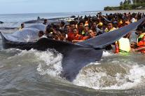 Beachgoers Rescue Sperm Whales Stranded On Indonesia Beach