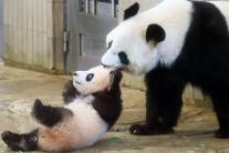Tokyo's Baby Panda Makes First Appearance! See Cute Pictures...