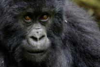 Rwanda's Mountain Gorillas are Under Threat; See Pictures