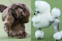 Meet the Cutest Dogs from Westminster Dog Show 2018