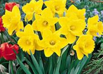Daffodils tip over? Get them tipsy