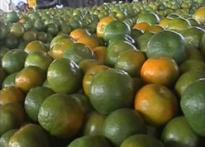 Oranges turn sour for Maha farmers
