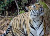 Orissa officials rescue wounded tiger