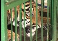 Sita, the tigress struggles in Orissa zoo